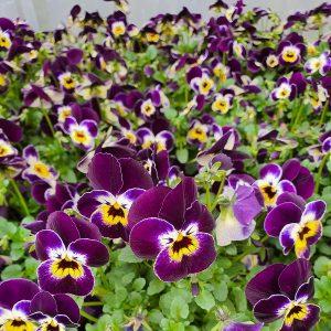 Naslaite smulk violet
